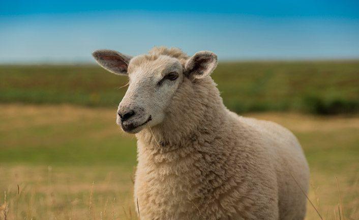Características de la oveja